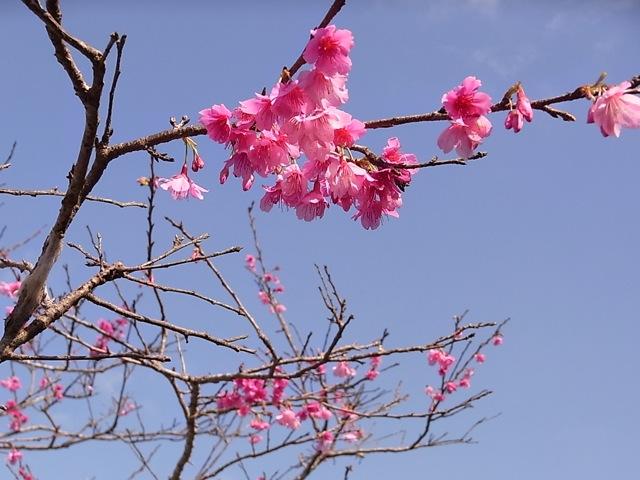 八重瀬町の桜_e0158687_1255851.jpg