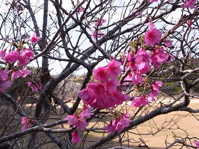 八重瀬町の桜_e0158687_12562297.jpg