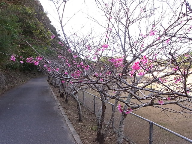八重瀬町の桜_e0158687_12571749.jpg
