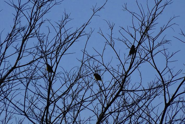 寒を耐える小枝にカワラヒワ_b0145296_17533932.jpg