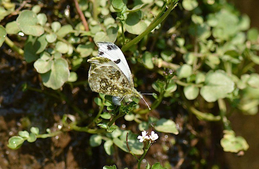 蝶の産卵シーン2014(2015年1月25日) _d0303129_3164338.jpg