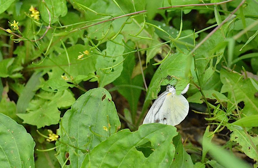 蝶の産卵シーン2014(2015年1月25日) _d0303129_3165575.jpg