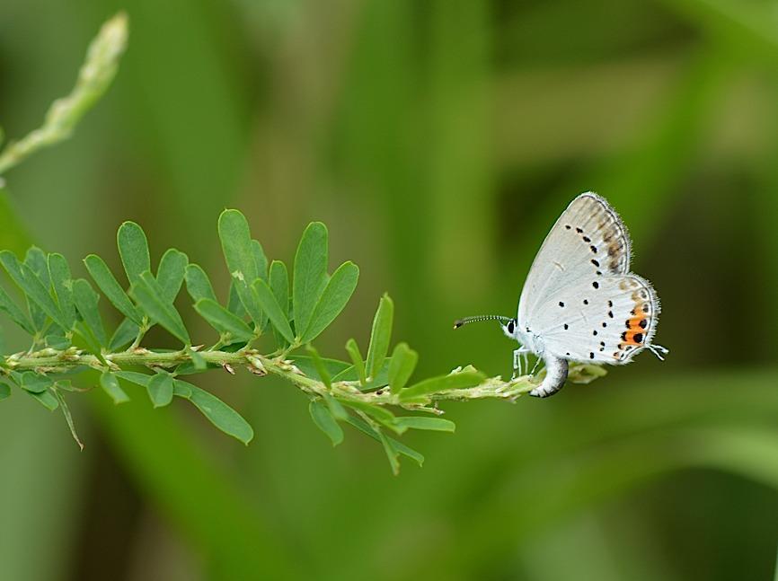 蝶の産卵シーン2014(2015年1月25日) _d0303129_317351.jpg