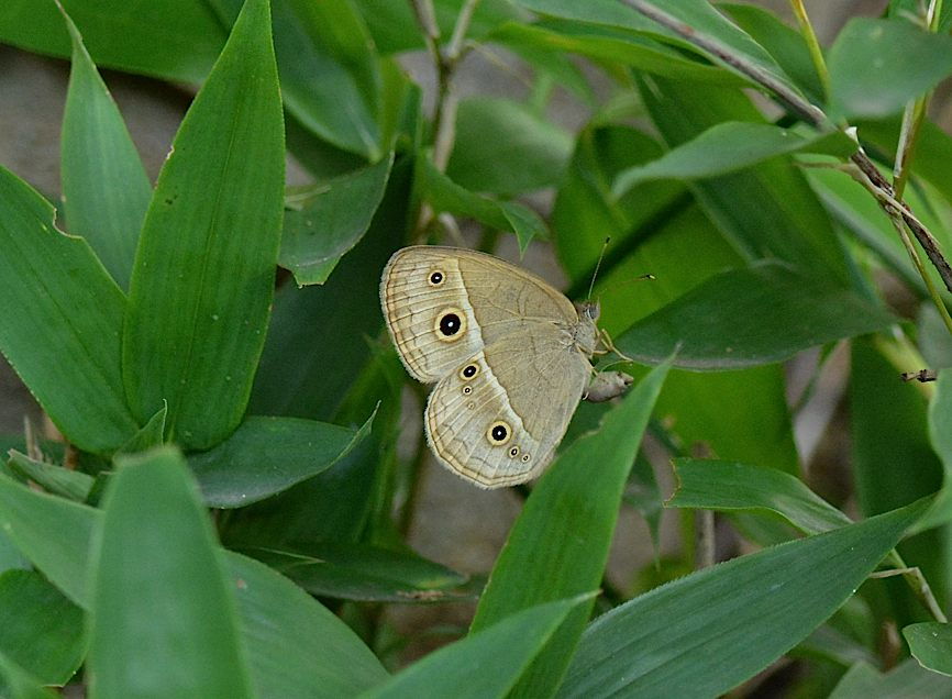 蝶の産卵シーン2014(2015年1月25日) _d0303129_3183154.jpg