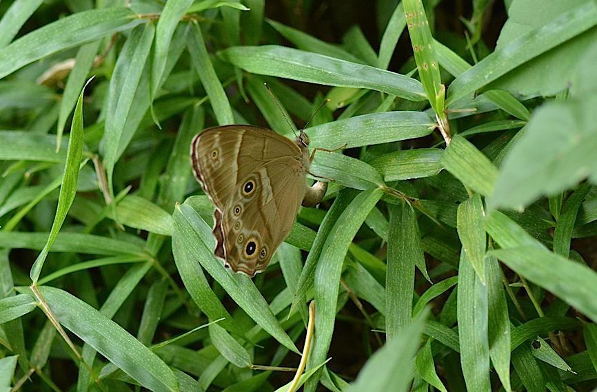 蝶の産卵シーン2014(2015年1月25日) _d0303129_318326.jpg
