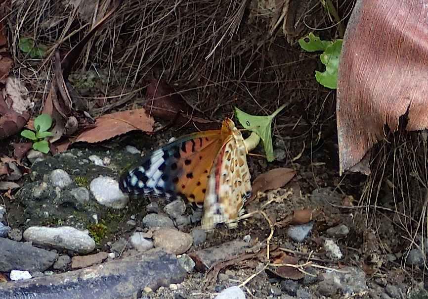 蝶の産卵シーン2014(2015年1月25日) _d0303129_3183458.jpg