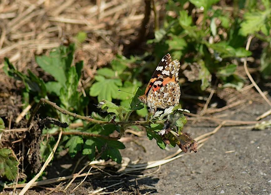 蝶の産卵シーン2014(2015年1月25日) _d0303129_31932.jpg