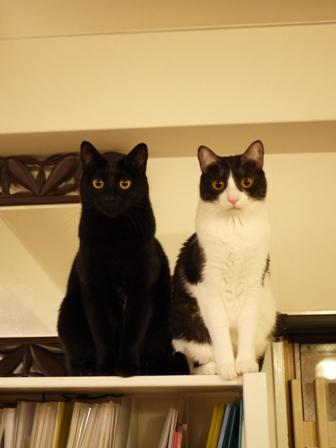 よく似てる猫 てぃぁらみるきぃ編。_a0143140_23313166.jpg