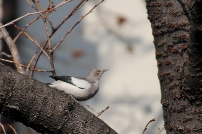 2015.1.26 人気者を見てきました・板橋の桜並木・カラムクドリ(I watched a popular wild bird)_c0269342_18021116.jpg