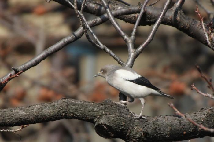2015.1.26 人気者を見てきました・板橋の桜並木・カラムクドリ(I watched a popular wild bird)_c0269342_18030527.jpg