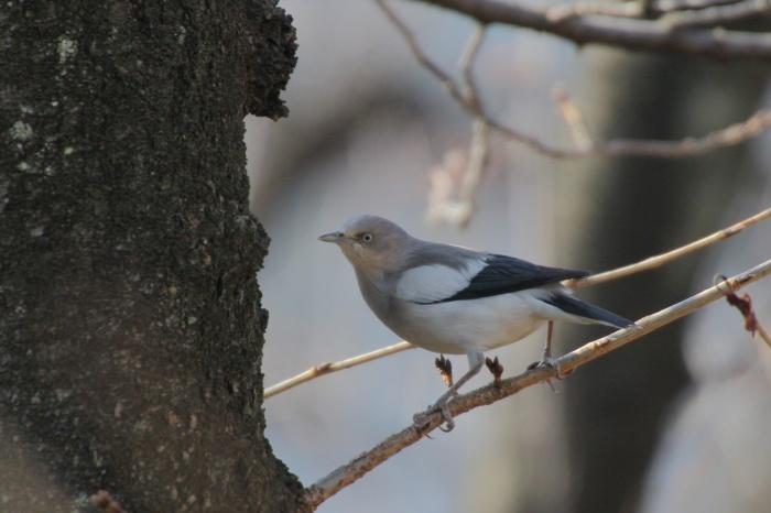2015.1.26 人気者を見てきました・板橋の桜並木・カラムクドリ(I watched a popular wild bird)_c0269342_18033171.jpg