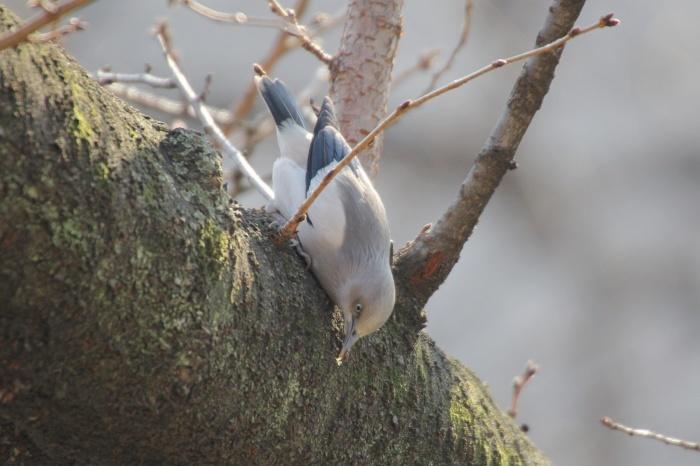2015.1.26 人気者を見てきました・板橋の桜並木・カラムクドリ(I watched a popular wild bird)_c0269342_18052404.jpg