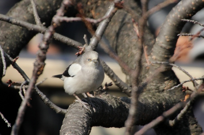 2015.1.26 人気者を見てきました・板橋の桜並木・カラムクドリ(I watched a popular wild bird)_c0269342_18063164.jpg