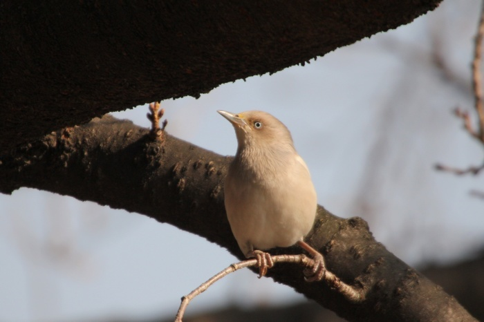 2015.1.26 人気者を見てきました・板橋の桜並木・カラムクドリ(I watched a popular wild bird)_c0269342_18073536.jpg