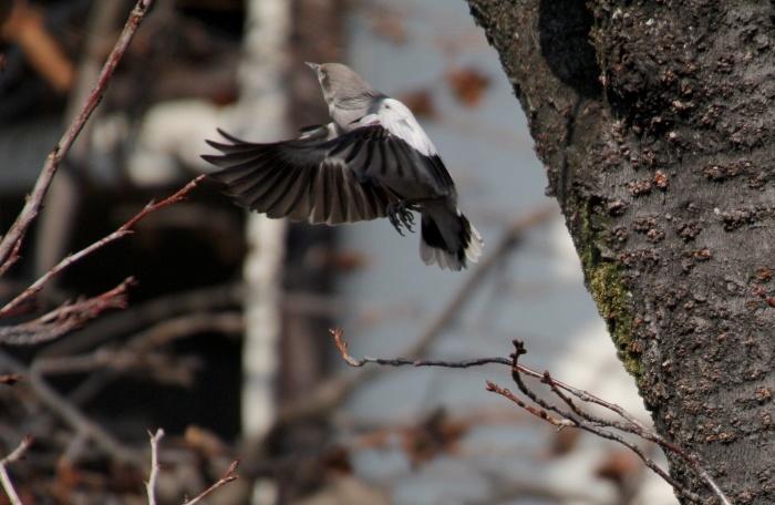 2015.1.26 人気者を見てきました・板橋の桜並木・カラムクドリ(I watched a popular wild bird)_c0269342_18084427.jpg