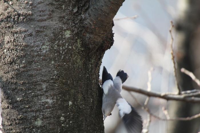 2015.1.26 人気者を見てきました・板橋の桜並木・カラムクドリ(I watched a popular wild bird)_c0269342_18105624.jpg