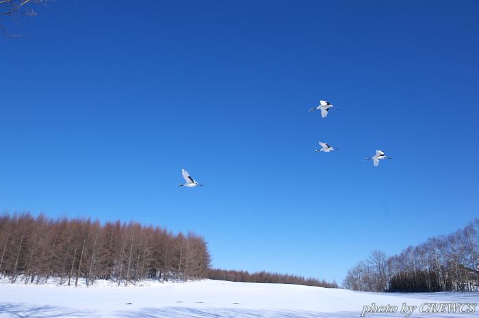 麗姿・タンチョウ~飛翔2(青天編)/北海道鶴居村_e0056449_22584727.jpg