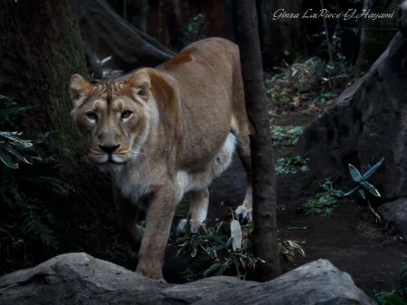 動物のいる風景 上野動物園 ライオン_b0133053_19644.jpg