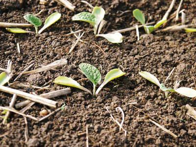 有機栽培の水田ごぼう ごぼうの発芽と水田での栽培のメリットのお話し_a0254656_1727425.jpg