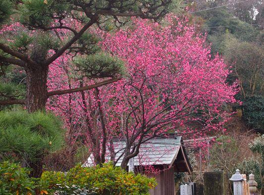 植木・貞宗寺の紅梅(2015.01.27)...