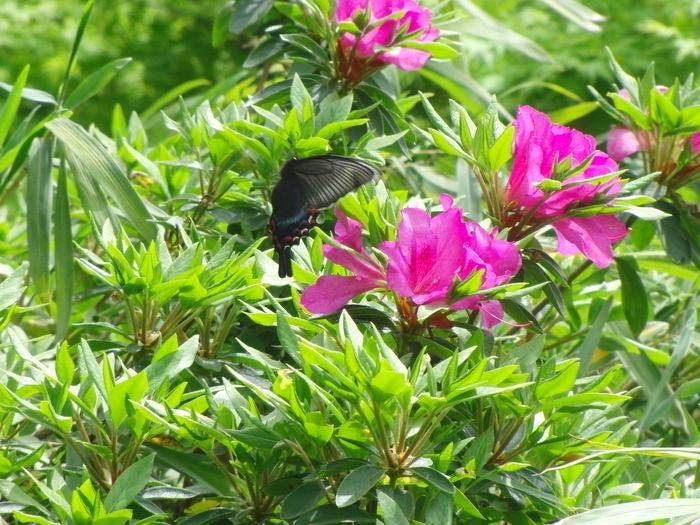 ミヤマカラスアゲハ 2012知多半島にて_d0254540_20124243.jpg