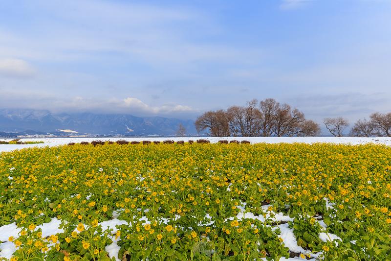 菜の花と雪景色(琵琶湖なぎさ公園)_f0155048_23332390.jpg