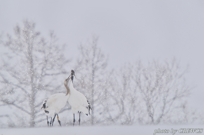 風雪の中で(幼鳥)/北海道鶴居村_e0056449_14215340.jpg