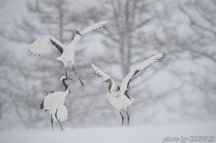 風雪の中で(幼鳥)/北海道鶴居村_e0056449_14261953.jpg