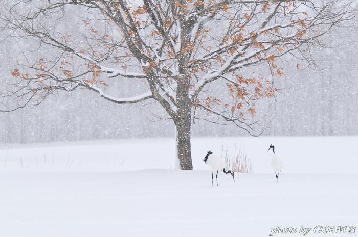 風雪の給餌場/北海道鶴居村_e0056449_20362749.jpg