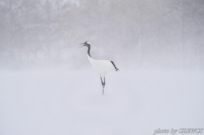 風雪の給餌場/北海道鶴居村_e0056449_20391740.jpg