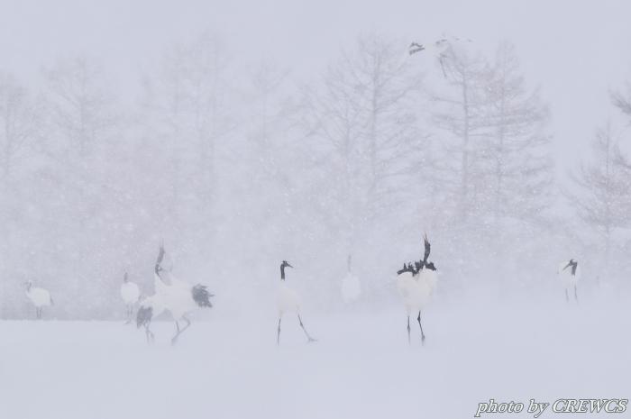 風雪の給餌場/北海道鶴居村_e0056449_20394377.jpg