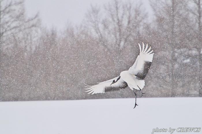 風雪の舞い/北海道鶴居村_e0056449_20502540.jpg