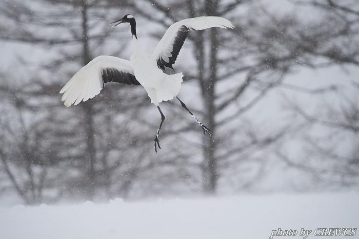 風雪の舞い/北海道鶴居村_e0056449_20563888.jpg