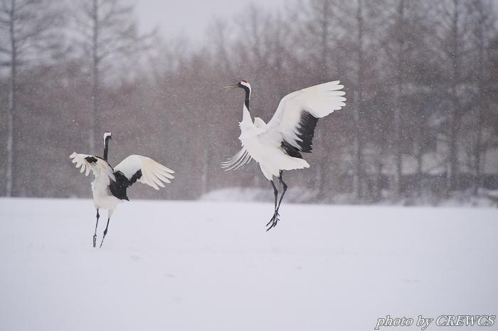 風雪の舞い/北海道鶴居村_e0056449_2056594.jpg