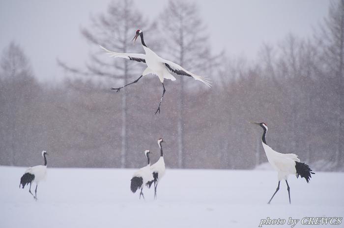風雪の舞い/北海道鶴居村_e0056449_20571169.jpg