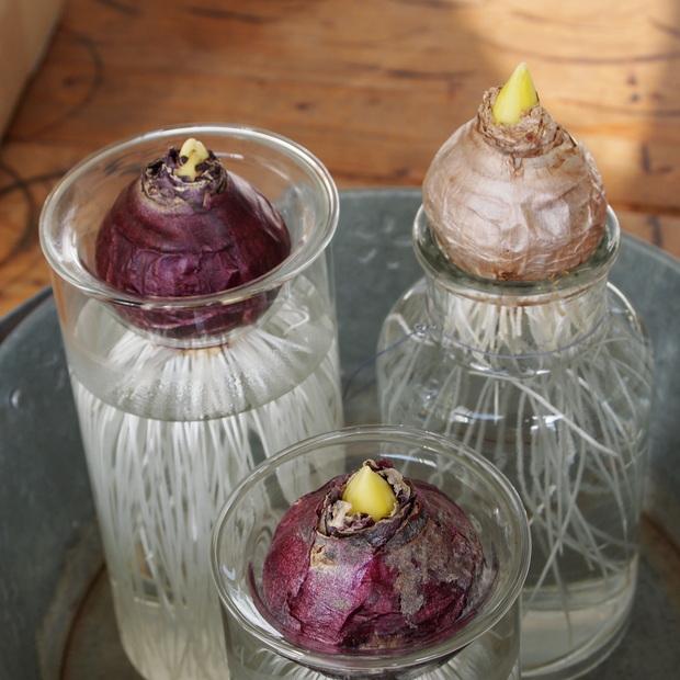 ヒヤシンスの水栽培、芽が出てきました_a0292194_14202654.jpg