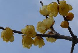 早春の訪れを告げる花・ロウバイ_e0175370_1359083.jpg