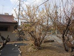 早春の訪れを告げる花・ロウバイ_e0175370_1401831.jpg