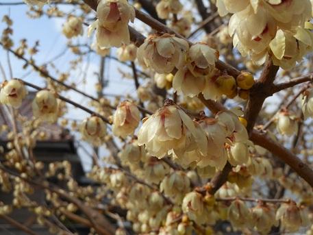 早春の訪れを告げる花・ロウバイ_e0175370_1412329.jpg