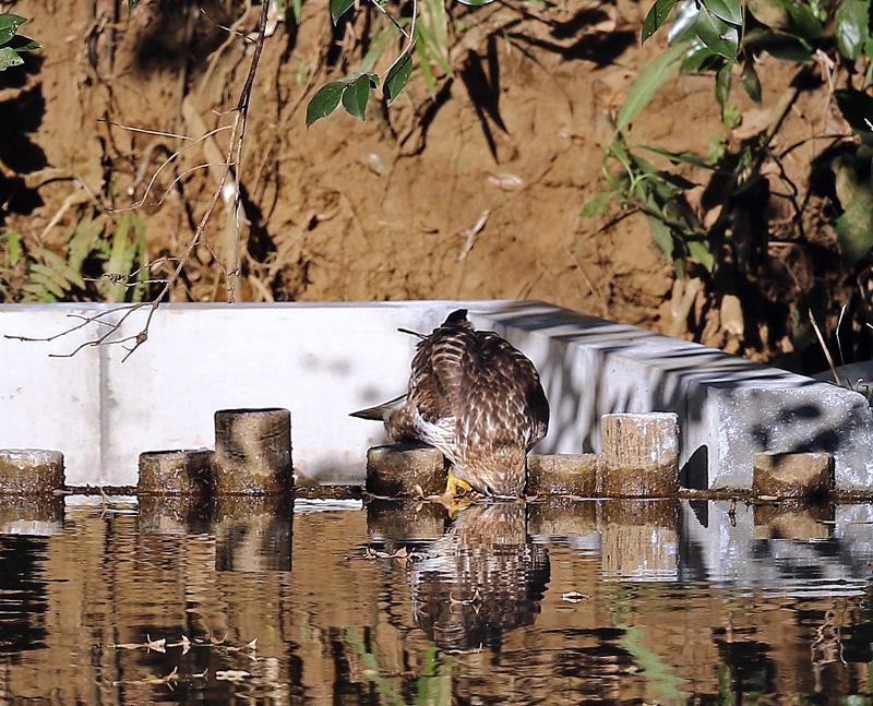 水を飲む「ノスリ」_d0195897_13462942.jpg