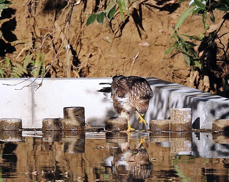 水を飲む「ノスリ」_d0195897_1346598.jpg