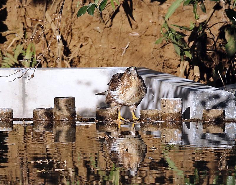 水を飲む「ノスリ」_d0195897_13473560.jpg