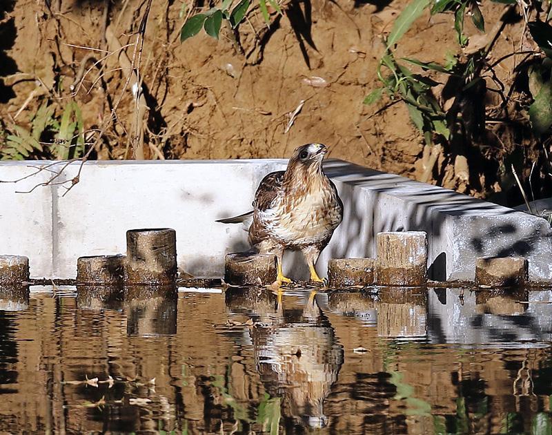 水を飲む「ノスリ」_d0195897_13474621.jpg