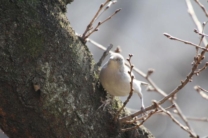 2015.1.26 人気者を見てきました・板橋の桜並木・カラムクドリ(I watched a popular wild bird)_c0269342_19085480.jpg