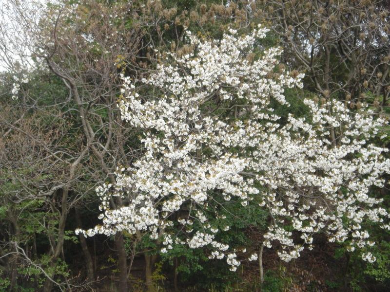 せんなん里海公園内に再植樹・・・うみべの森を育てる会_c0108460_13275931.jpg