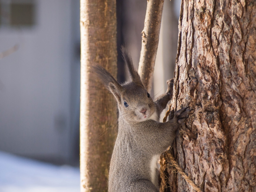 """最近のお気に入り?キハダの枝で遊ぶ""""エゾリス君""""_f0276498_23443317.jpg"""