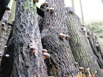 原木しいたけ 森の旨みを詰め込んで大好評発売中!!_a0254656_1823322.jpg