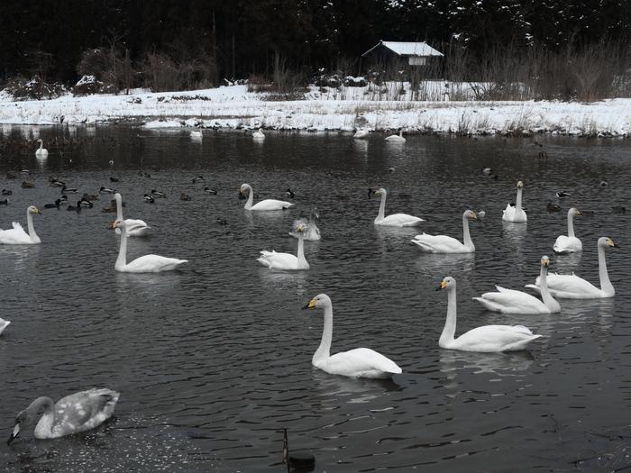 白鳥と人_e0169421_20391717.jpg