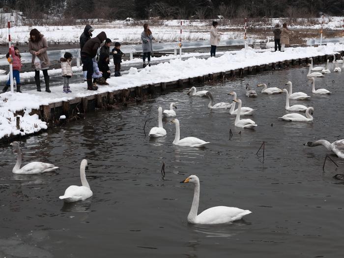 白鳥と人_e0169421_2040214.jpg