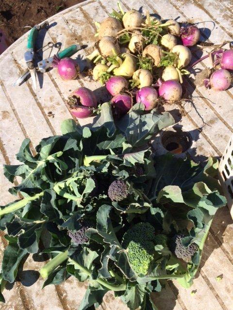 芽キャベツ ブロッコリーの脇芽 蕪 菜の花 葉物の収穫_c0222448_11571159.jpg